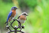 "<div class=""jaDesc""> <h4> Mom and Dad Bluebird Portrait - June 16, 2016</h4> <p>This Bluebird pair does not take time to groom themselves because they are totally focused on feeding their 5 chicks in the nestbox.</p> </div>"