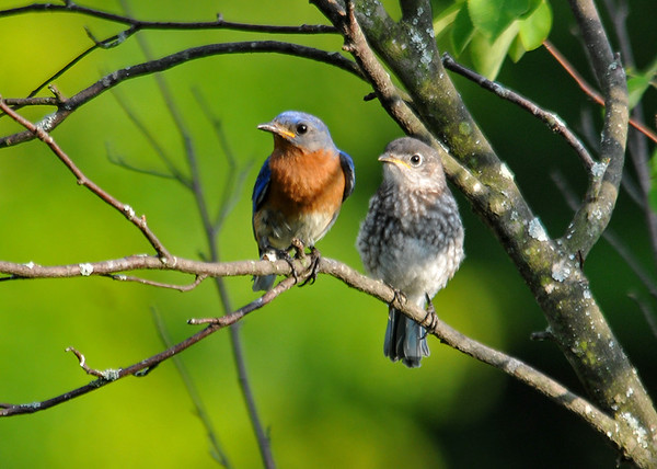 "<div class=""jaDesc""> <h4> Dad and Juvenile Bluebird - July 1, 2016</h4> <p>Mom and Dad have a challenge keeping 5 juvenile Bluebirds fed.  Now that they are in our backyard, the mealworms are close-by so the parents don't have to fly back and forth to the woods.</p> </div>"