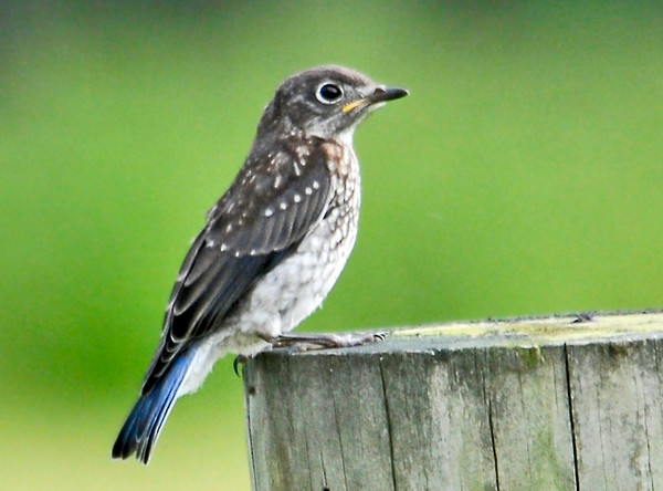 """<div class=""""jaDesc""""> <h4> Young Bluebird on His Own - June 30, 2014</h4> <p>Dad Bluebird keeps calling to the youngsters to follow him into the mealworm tray, but they are not interested.  They are enjoying their freedom and getting bugs on their own.  I had to hike out to the pasture to get this shot.</p> </div>"""