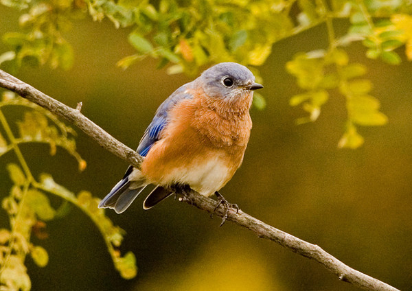 """<div class=""""jaDesc""""> <h4>Male Bluebird Migrating Through - September 23, 2006 </h4> <p>We usually have about 6 Bluebirds pass through on their way south in October.  This guy visited our backyard looking for bugs.</p> </div>"""