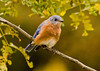 "<div class=""jaDesc""> <h4>Male Bluebird Migrating Through - September 23, 2006 </h4> <p>We usually have about 6 Bluebirds pass through on their way south in October.  This guy visited our backyard looking for bugs.</p> </div>"