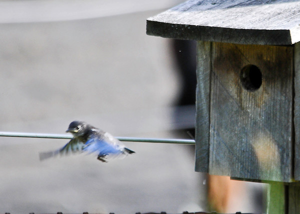"<div class=""jaDesc""> <h4> Baby Bluebird - First Flight - June 20, 2014</h4> <p>Seconds later this baby Bluebird took off on its first flight.  It flew a long distance, all the way up to the woods edge trees about 200 feet away.  Dad Bluebird will keep them up there for 7-10 days until they are stronger fliers and it is safer for them  to venture out into the open.</p> </div>"