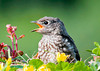 """<div class=""""jaDesc""""> <h4> Hungry Baby Bluebird - June 22, 2013</h4> <p>The baby Bluebirds are now coming into the newly decorated mealworm platform.  The mealworms are wiggling around right under their beaks, but they still expect the parents to feed them.</p> </div>"""