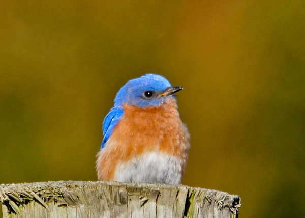 """<div class=""""jaDesc""""> <h4> Male Bluebird - First of Year - April 2, 2014</h4> <p>All the birds are late this year given the cold weather.  This is our first Bluebird of the season.  He was hanging out with a female; they were checking out nest boxes together. </p> </div>"""