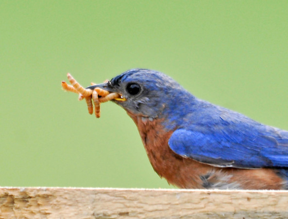 """<div class=""""jaDesc""""> <h4> Dad Bluebird Getting Mealworms for Chicks - June 10, 2014</h4> <p>Given the number of mealworms the chicks have been getting every day, they should be growing strong and ready to leave the nest soon.</p> </div>"""