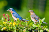 "<div class=""jaDesc""> <h4> Mom and Dad Bluebird - June 22, 2013</h4> <p>Both Bluebird parents were in at the mealworm feeder platform trying to entice the babies to join them.</p> </div>"