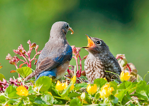 """<div class=""""jaDesc""""> <h4> Baby Bluebird - I'm Ready - June 22, 2013</h4> <p>Mom Bluebird pulls the mealworms away from the babies several times before feeding them.  This is how she starts to train them to reach and peck for their own food.</p> </div>"""
