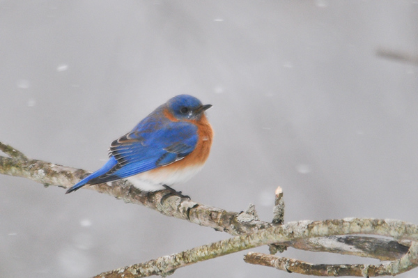 "<div class=""jaDesc""> <h4> Male Bluebird in Light Snow - January 1, 2013</h4> <p> This is a second male Bluebird among the group of 5 that we found along River Road in Lounsberry, NY during our Christmas Bird Count.  Our first one should be showing up at our place in Berkshire, NY around mid-February.</p> </div>"