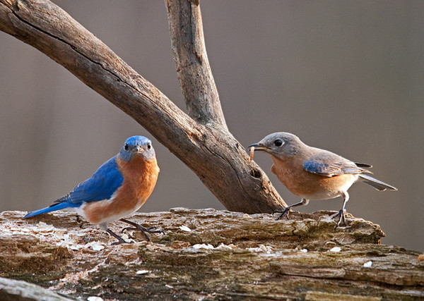 """<div class=""""jaDesc""""> <h4> Male Bluebird Finds a Mate - March 21, 2010 </h4> <p>After 5 days of singing in the treetops around our property, the male Bluebird attracted a mate.  He and the female are now together all day long.  Today, the male grabbed a mealworm and flew toward the tree where the female was perched.  As he approached she took off and they flew upward together in a spiral to about 100 feet.  At that point it looked like the male fed the mealworm to the female and they flew off together.</p> </div>"""