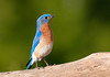 "<div class=""jaDesc""> <h4>Male Bluebird Waiting for Mealworms - May 20, 2010 </h4> <p> If I forget to put mealworms in the box, the male sings to me as a reminder. He moves off to a nearby tree while I put them out, and then comes to the box right away. We haven't seen any youngsters yet, but keep hoping they will show up soon.</p> </div>"