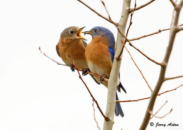 "<div class=""jaDesc""> <h4> Bluebirds in Love - March 19, 2009 </h4> <p>  I finally got a shot of the Bluebird pair together.  The male cozied right up to the female to feed her a mealworm.  He is demonstrating that he will be a good dad to their young.</p> </div>"