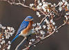 "<div class=""jaDesc""> <h4>Male Bluebird in Blooming Serviceberry Tree - May 6, 2011 </h4> <p>Every morning I stand on my porch and whistle 3 times to the Bluebird pair to let them know I am putting mealworms out. The male is usually perched in our crabapple tree near the nest box. The female is sitting on eggs and comes flying out of the box when she hears me. Chicks should hatch late this week or early next week. I will know for sure when the parents start making mealworm runs to the nest box.</p> </div>"