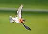 "<div class=""jaDesc""> <h4>Female Bluebird Turning In-Flight - May 19, 2020</h4> <p></p> </div>"