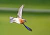 "<div class=""jaDesc""> <h4>Female Bluebird Turning In-Flight - May 19, 2020</h4> <p></p> </div>"