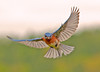 "<div class=""jaDesc""> <h4>Male Bluebird with Beak Full of Mealworms - May 22, 2011 </h4> <p>I put some mealworms in a new location today. The Bluebirds were a bit suspicious at first. Here the male is hovering above them making sure it is OK to land.</p> </div>"