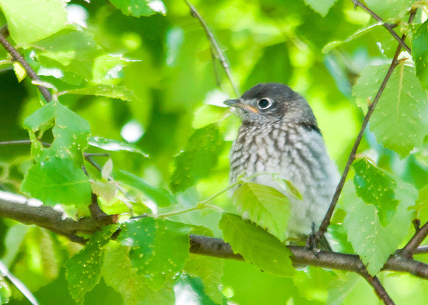 "<div class=""jaDesc""> <h4> Baby Bluebird Waiting to Be Fed - June 11, 2013</h4> <p> We only have 2 baby Bluebirds in the first clutch this year.  I think the extended cold spring may have hindered proper incubation.  This little guy is patiently waiting in our backyard birch tree for the parents to arrive with mealworms.</p> </div>"