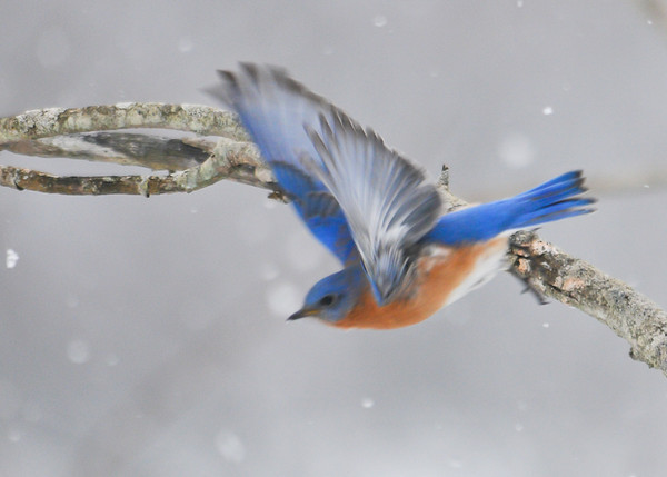 "<div class=""jaDesc""> <h4> Male Bluebird Taking Off - January 1, 2013</h4> <p> Along River Road in Lounsberry, NY we came across 5 Bluebirds during our Christmas Bird Count.  This male took off while I was photographing him.</p> </div>"