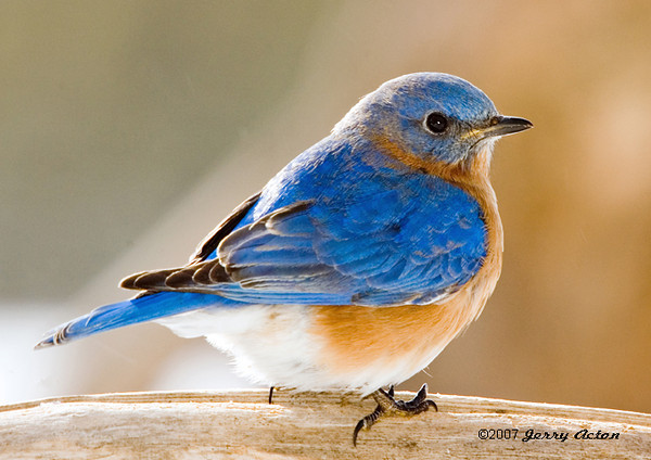 "<div class=""jaDesc""> <h4>Male Bluebird in Afternoon Sun - February 25, 2007 </h4> <p>This male bluebird caught the glow of the late afternoon sun on his breast.  He seemed content to perch on this branch for about 5 minutes.</p> </div>"