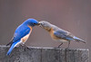 "<div class=""jaDesc""> <h4> Bluebird Courtship - April 10, 2009 </h4> <p> When the Bluebird pair visits the mealworm feeder, the male usually gets a mealworm and passes it to the female.</p> </div>"
