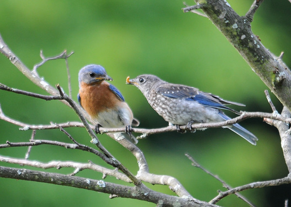 "<div class=""jaDesc""> <h4>Young Bluebird with Mealworm - July 1, 2016</h4> <p>Dad Bluebird usually stuffs 3 to 5 mealworms down the youngster's throat.  This time one of them did not quite make it down.  The youngster was looking to dad for help because he did not quite know what to do with the wiggling mealworm.</p> </div>"