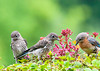 """<div class=""""jaDesc""""> <h4> Juvenile Bluebirds with Mom - June 29, 2013</h4> <p>The juvenile Bluebirds are starting to help themselves to mealworms while Mom eats beside them.  They still like to have Mom feed them, but she is refusing most of the time now.</p> </div>"""