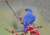 "<div class=""jaDesc""> <h4>Male Bluebird in Winterberry Bush - November 22, 2017</h4> <p>The male Bluebird was perching in the  winterberry bushes also and helping himself to the berries.  His brilliant blue feathers were very dramatic.</p> </div>"