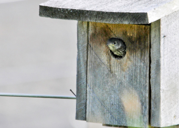 "<div class=""jaDesc""> <h4> Baby Bluebird Ready to Go - June 20, 2014</h4> <p>This is one of 3 baby Bluebirds in the nest box.  The body kept moving further out of the hole, so I knew it was getting ready to exit the nest.</p> </div>"