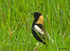 "<div class=""jaDesc""> <h4> Bobolink Standing Tall - May 16, 2009 </h4> <p> This male Bobolink was feeding in the high grass of our neighbor's hay field. He would periodically stand up nice and tall to look around.</p> </div>"