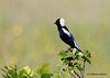 "<div class=""jaDesc""> <h4> Male Bobolink -  Side View - June 8, 2007</h4> <p> Bobolinks are most often seen flying around meadows and open fields.  I had seen this bird flying at a distance for almost a month on my way to work, but didn't know what it was until a friend tipped me off.</p> </div>"
