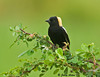 "<div class=""jaDesc""> <h4> Bobolink on Wild Rosebush - May 16, 2009 </h4> <p> My neighbor says there are 5 male Bobolinks chasing 2 females - poor gals.  This guy was taking a break from the chase, resting on a wild rosebush by the road.</p> </div>"