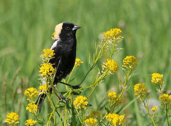 "<div class=""jaDesc""> <h4> Bobolinks Are Back - May 14, 2010</h4> <p> Yesterday I saw 8 male Bobolinks and 2 females flying around a large hay field just up the road from our property.  Periodically, a male would perch on a flower clump or grass stalk and sing away.</p> </div>"