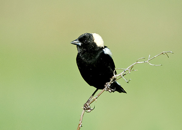 """<div class=""""jaDesc""""> <h4> Male Bobolink Looking for a Mate - May 10, 2008 </h4> <p> This male Bobolink just showed up today.  I saw him while driving to the store, so I went back with my camera later.  He was perched on a bush between a huge field and the road calling for a mate.</p> </div>"""