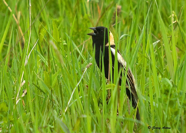 "<div class=""jaDesc""> <h4> Bobolink Signing in Hay Field - May 16, 2009 </h4> <p> Two male Bobolinks are claiming their sections of a neighbor&#39;s hay field.  This guy was singing away in his patch.</p> </div>"