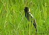 "<div class=""jaDesc""> <h4> Bobolink Signing in Hay Field - May 16, 2009 </h4> <p> Two male Bobolinks are claiming their sections of a neighbor's hay field.  This guy was singing away in his patch.</p> </div>"