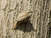 "<div class=""jaDesc""> <h4> Brown Creeper - A 1st for Me - March 25, 2009 </h4> <p>It was quite a challenge to get this brown creeper in the frame.  He was scooting up, down and around a large tree trunk very quickly.  I did manage this one shot.</p> </div>"