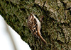 "<div class=""jaDesc""> <h4> Brown Creeper Looking for Insects - December 31, 2011 </h4> <p>Our Christmas Bird Count group found this Brown Creeper on the trunk of a large tree by the Susquehanna River near Lounsberry, NY.   He blends in so well with the bark, so we only saw him because he was scooting quickly around the trunk looking for insects in the bark crevices.</p> </div>"