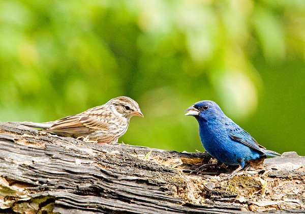 """<div class=""""jaDesc""""> <h4>Indigo Bunting & Chipping Sparrow Eating Together - August 7, 2008</h4> <p>A male Indigo Bunting was joined by a Chipping Sparrow.  They ate seed together very peacefully.</p> </div>"""