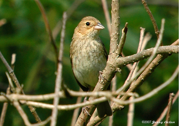 "<div class=""jaDesc""> <h4>Female Indigo Bunting in Nesting Area - July 27, 2006</h4> <p> You would never guess that this little brown bird is the female Indigo Bunting.  She is very difficult to spot in the brush since she blends in so well.  In this shot, she came out into the sunlight for a few seconds. </p> </div>"