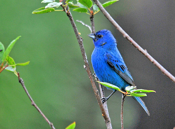 "<div class=""jaDesc""> <h4>Male Indigo Bunting in Cherry Tree Sapling - July 23, 2010</h4> <p> Here is one last photo of one of our two male Indigo Buntings from this year. He would always use the cherry tree sapling that I transplanted into our front yard as his approach tree.</p> </div>"