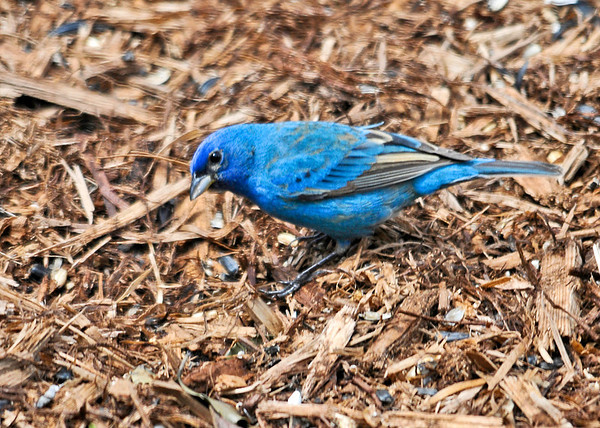 "<div class=""jaDesc""> <h4>Male Indigo Bunting Ground Feeding - May 4, 2014</h4> <p> This beauty arrived this morning.  He was mixing in with the 12 Goldfinches with no fuss, and ground feeding with the Red-winged Blackbirds and Doves.</p> </div>"