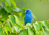 "<div class=""jaDesc""> <h4>Male Indigo Bunting Visiting Often Now - July 22, 2008</h4> <p>The Indigo Bunting is now a regular, coming in many times during the day to eat with the Goldfinches, Purple Finches, Chipping and Song Sparrows.  While he is very spooky about my presence, he doesn't fly off when the Bluejays and Redwing Blackbirds come storming in.</p> </div>"