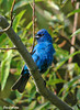 "<div class=""jaDesc""> <h4>Male Indigo Bunting in Afternoon Sun - July 27, 2006</h4> <p>He and his mate are nesting in the thick brush down the hill a bit from our house.</p> </div>"