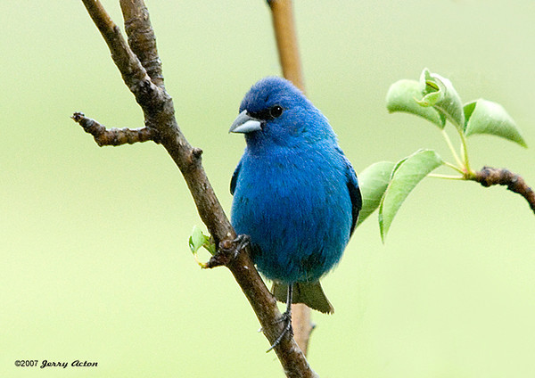 """<div class=""""jaDesc""""> <h4>Male Indigo Bunting  in Pear Tree - July 4, 2007</h4> <p> Our pear tree is a favorite approach perch for the male Indigo Bunting.  He enjoys the niger seed I spread on the ground, and feeds right along side the other song birds.</p> </div>"""