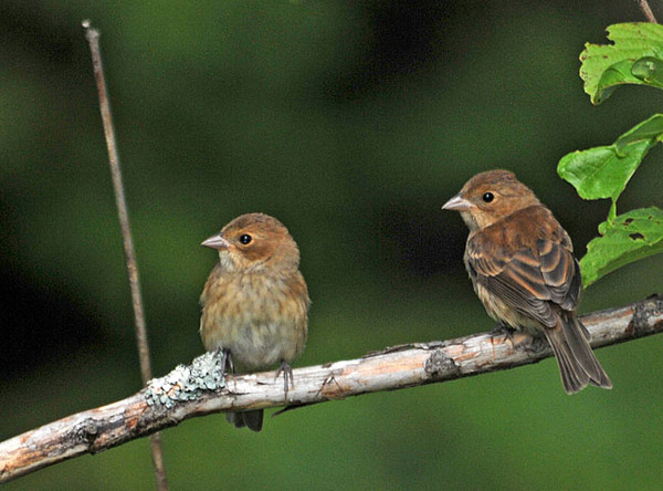 """<div class=""""jaDesc""""> <h4>Pair of Juvenile Indigo Buntings - July 22, 2010</h4> <p>Three juvenile Indigo Buntings were chasing each other among some bushes along the side of our road. I managed to get 2 of them in the frame as they took a break from their playful antics.</p> </div>"""