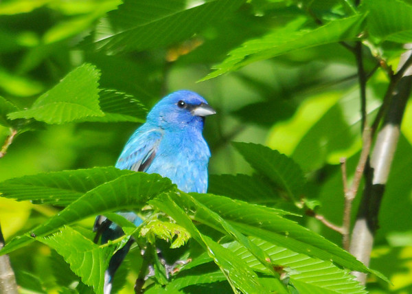 "<div class=""jaDesc""> <h4>Male Indigo Bunting Guarding Nest Area - June 5, 2014</h4> <p> This male Indigo Bunting is standing guard over a nearby nest.  He calls to his mate periodically..</p> </div>"