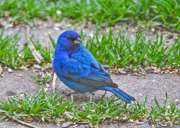 """<div class=""""jaDesc""""> <h4>Male Indigo Bunting Over-the-Shoulder Pose - May 8, 2016</h4> <p>After hopping around eating millet seed for a bit, he gave me a nice over-the-shoulder pose.</p></div>"""