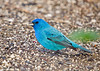 "<div class=""jaDesc""> <h4>Male Indigo Bunting Ground Feeding - May 11, 2007</h4> <p> The male Indigo Buntings did not visit our backyard much until I started tossing niger seed on the ground instead of just in tube feeders.</p> </div>"