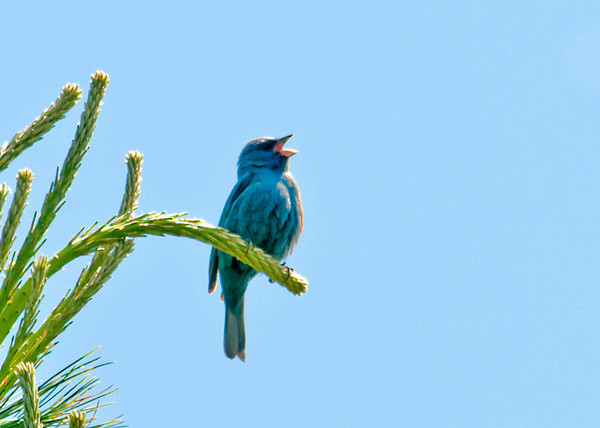 "<div class=""jaDesc""> <h4>Male Indigo Bunting Singing - June 4, 2013</h4> <p> I heard this Indigo Bunting singing up ahead on a trail.  He stayed high up in an evergreen tree as I approached to get a shot.</p> </div>"