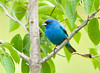 "<div class=""jaDesc""> <h4>Male Indigo Bunting in Mulberry Tree - July 21, 2008</h4> <p>This male Indigo Bunting has become a regular front yard visitor.  He likes the niger seed I put out for the Goldfinches.  I have never seen the female Indigo Bunting in our yard, only down near their nesting site.</p> </div>"