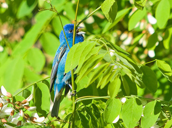 """<div class=""""jaDesc""""> <h4>Male Indigo Bunting Calling for Mate - June 1, 2009</h4> <p>There are at least 4 male Indigo Buntings calling for a mate within a 1/4 mile of our house.  They tend to stay in the tree tops this time of year.  This guy was in a bush, but would not come out in the open. </p> </div> </br> <center>   </center>"""
